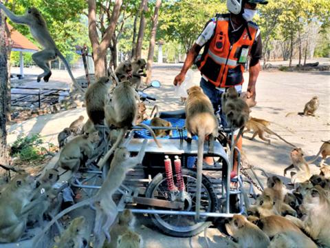 Monkeys Overrun Hua Hin.png
