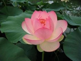 pict-2蓮の花.jpg
