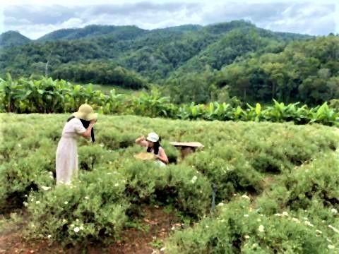pict-Chrysanthemum field at Samoeng.jpg
