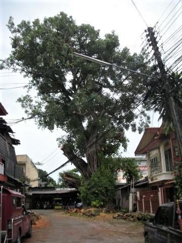 pict-DSCN4385大木の伐採 (3).jpg