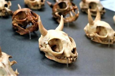 pict-「猫鬼の頭蓋骨」湯本豪一記念日本妖怪博物館.jpg
