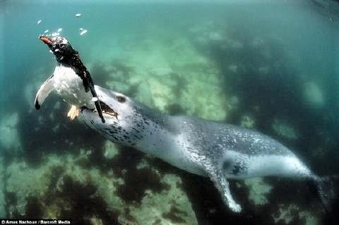 pict-ヒョウアザラシとペンギン.jpg