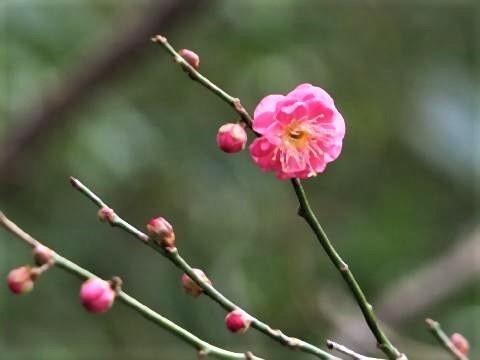 pict-台湾の国花は、「ウメ」.jpg