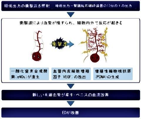 pict-新たな毛細血管を産生させペニスの血流を増加.jpg