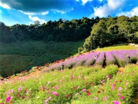 pict-段々畑が連なるモンチェム。特に紫色のバーベナが綺麗.jpg