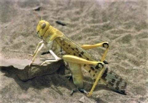 pict-砂地に産卵するサバクトビバッタ.jpg