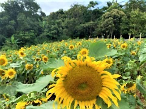 pict-Farm of winter flower at Mon Cham2.jpg