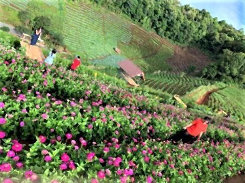 pict-Farm of winter flower at Mon Cham4.jpg