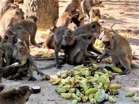pict-Monkeys Overrun Hua Hin2.jpg
