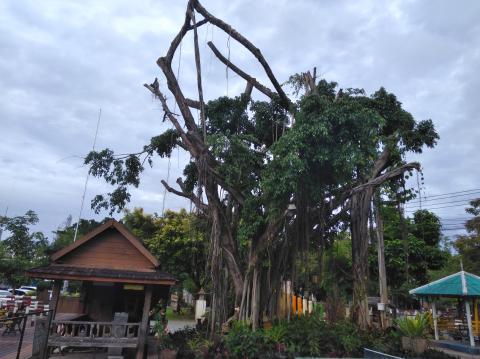 pict-P_20180623_06264Rain Tree7.jpg