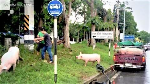 pict-Pigs run amok, bring traffic to a standstill.jpg