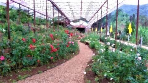 pict-Rose Garden at Huay Phak Phai Royal project2.jpg