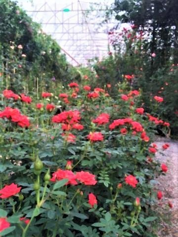 pict-Rose Garden at Huay Phak Phai Royal project7.jpg