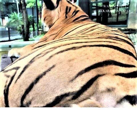 pict-Social media condemns tiger balls-grabber.jpg