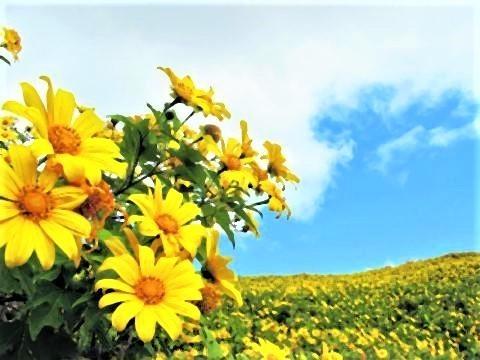 pict-Sunflowers return to Mae Hong Son2.jpg