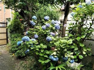 pict-pict-1529283271900a紫陽花.jpg