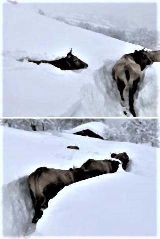 pict-pict-深い積雪の斜面を通り抜けるスペイン北部レオンの牛.jpg