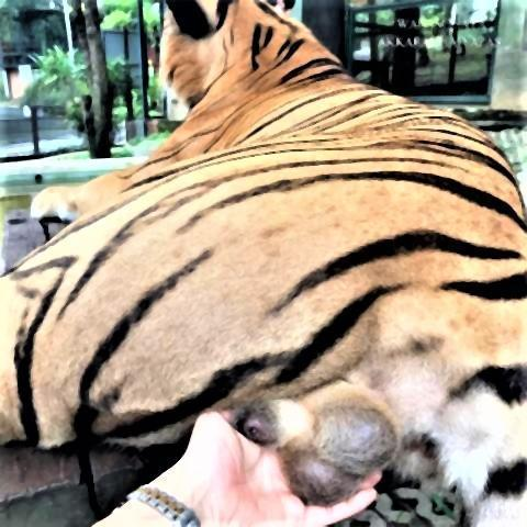 pict-pict-Social media condemns tiger balls-grabber.jpg