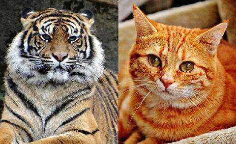 pict-tiger-cat.jpg