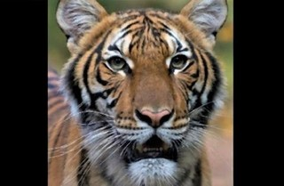 pict-tiger at the Bronx Zoo.jpg